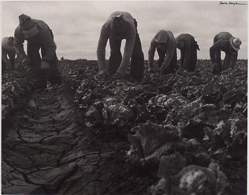 Filipinos Cutting Lettuce, Salinas, California by Dorothea Lange